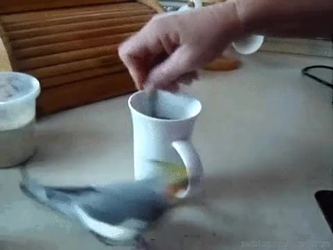 Watch This bird really enjoys coffee making time[video] GIF on Gfycat. Discover more bird, birds, coffee making, cute bird, cuteness, funny, gif, lol, parrot, parrots, pet, pet blog, petcorner, pets GIFs on Gfycat