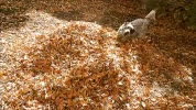 Watch and share Autumn Leaves GIFs on Gfycat