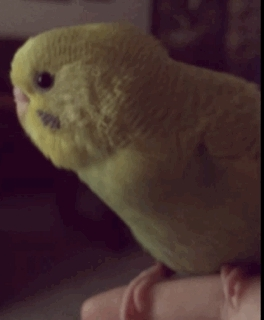 birb, bird, budgerigar, budgie, cute, parakeet, parrot, pet, vector, ~chirp chirp~ GIFs