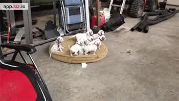 Watch and share Dalmatian GIFs and Puppies GIFs on Gfycat