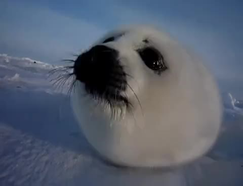 Watch and share Seals GIFs and Seal GIFs on Gfycat