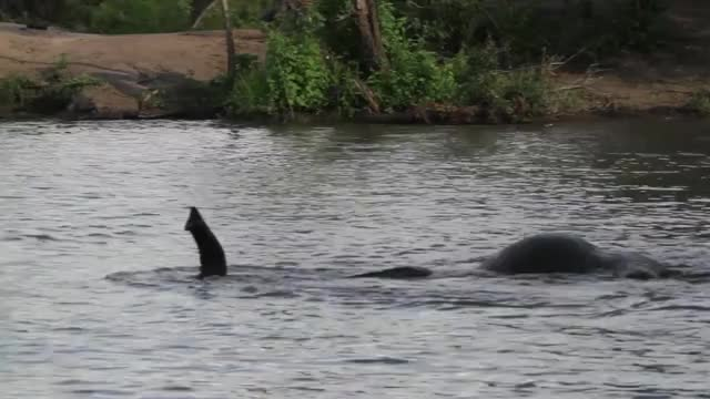Watch and share Elephants Swim GIFs by Londolozi Game Reserve on Gfycat