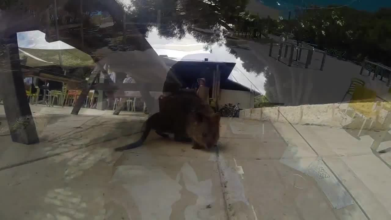 awwgifs, Friendly Quokka's at Geordie bay cafe, Rottnest island (reddit) GIFs