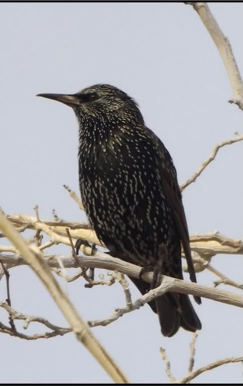 Watch and share European Starling GIF GIFs on Gfycat