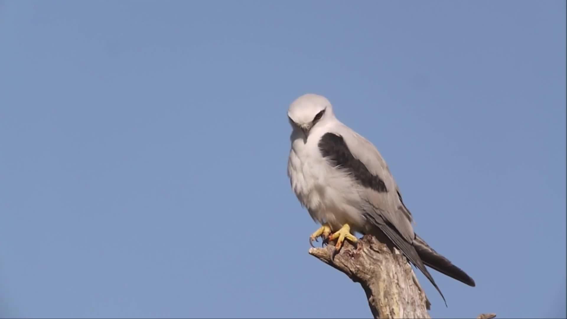 Black-winged Kite, Elanio azul, Elanio común, Elanus caeruleus, HERKEN DE GRIJZE WOUW, Peneireiro cinzento, grijze wouw, דאה שחורת-כתף, HERKEN DE GRIJZE WOUW GIFs