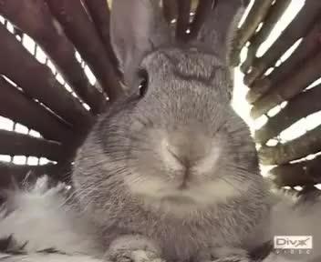 Watch bun-nose GIF on Gfycat. Discover more Poppy, bunny, chincilla, cute, dwarf, netherland, nose, rabbit GIFs on Gfycat
