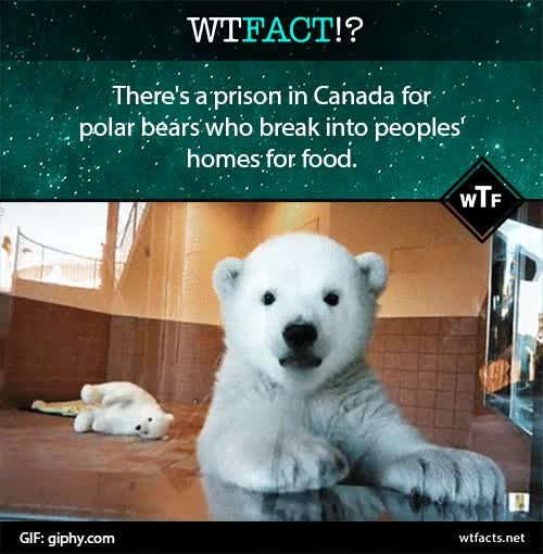Watch and share Polar Bears Wtfacts Gif GIFs on Gfycat