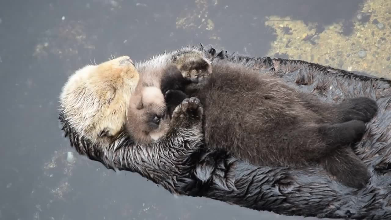 Sea Otter cuddling with her baby GIFs