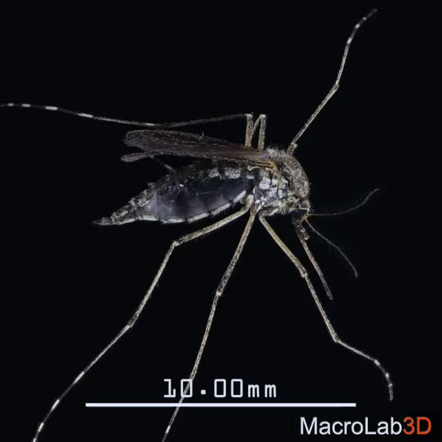 Watch and share Macrolab3d GIFs and Mosquito GIFs by MacroLab3D on Gfycat