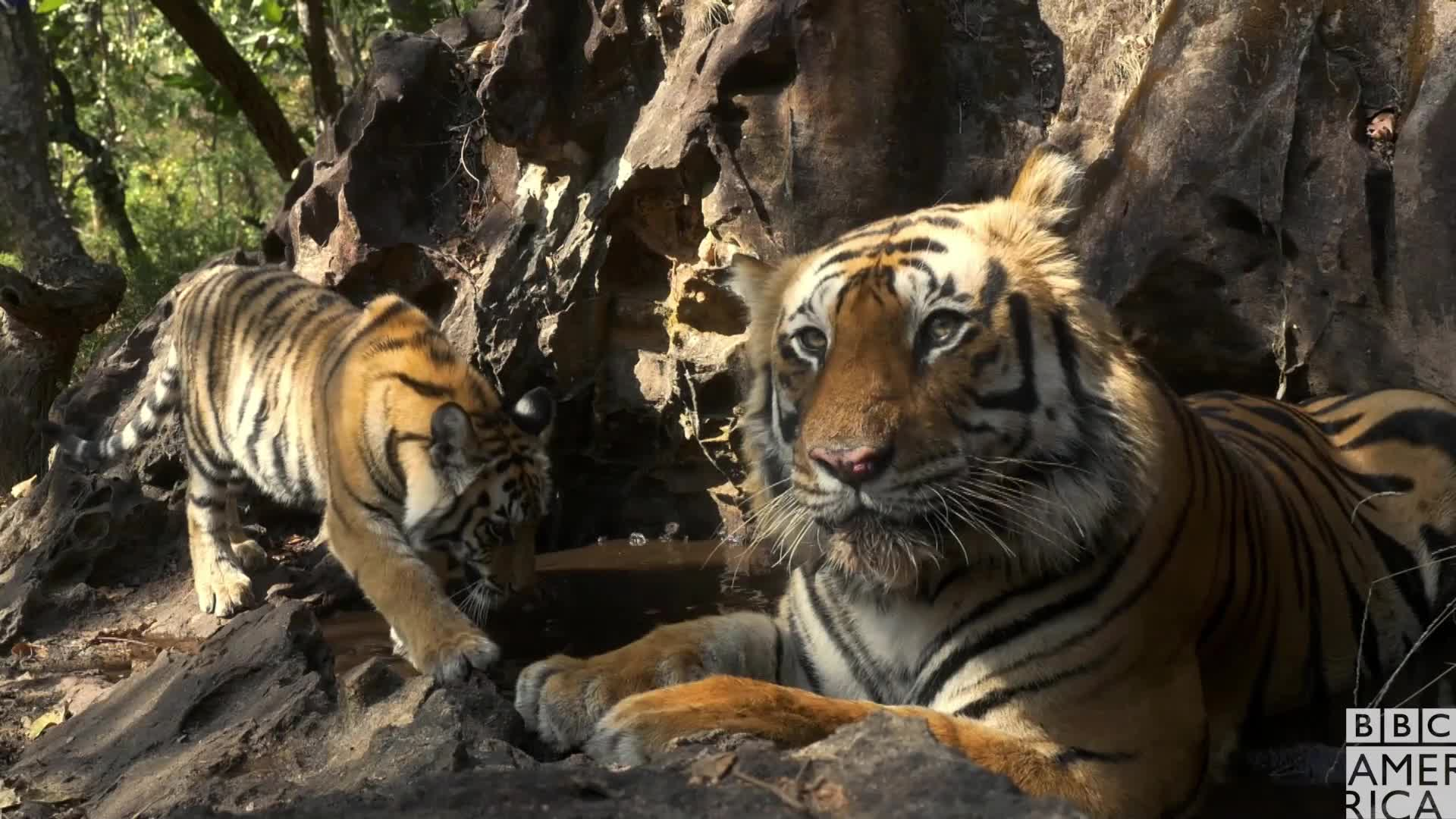 animal, animals, bbc america, bbc america dynasties, bbc america: dynasties, bye, dynasties, goodbye, i'm out, let's bounce, let's go, let's leave, peace, peace out, tiger, tigers, Dynasties Tiger Dad Peaces Out GIFs