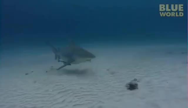Watch and share Bull Shark GIFs on Gfycat