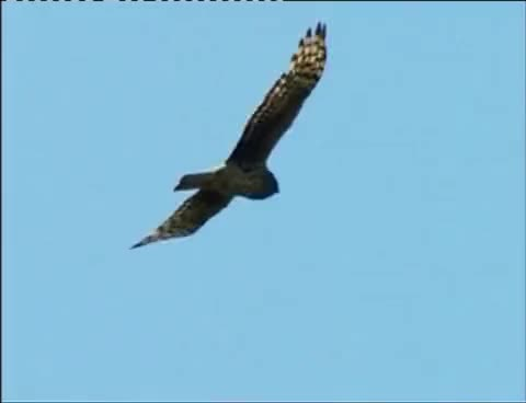Watch and share Northern Harrier Hawk GIFs on Gfycat