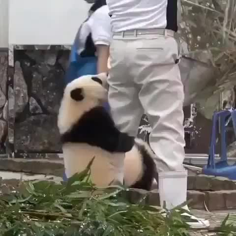 Watch Video By @pandamarc GIF on Gfycat. Discover more panda, panda_clips, pandaexpress, pandai, pandalove, pandalover, pandalovers, pandas, pandastyle, pandaworld GIFs on Gfycat
