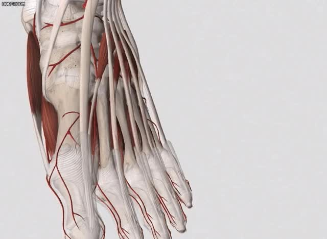 Watch and share Complete Anatomy GIFs and 3d4medical GIFs by Park  Youngjin on Gfycat