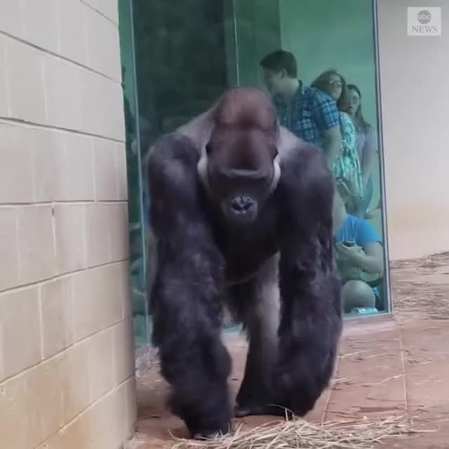 Watch and share Gorilla GIFs on Gfycat