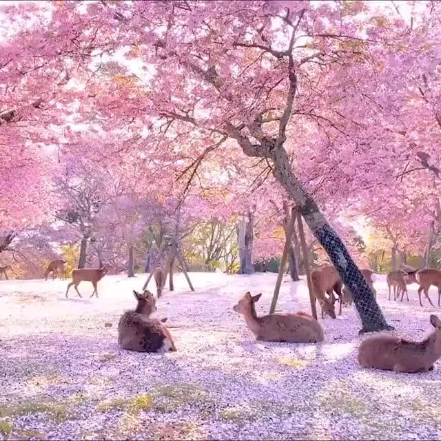 Watch and share Cherry Blossom GIFs and Japan GIFs by GB on Gfycat
