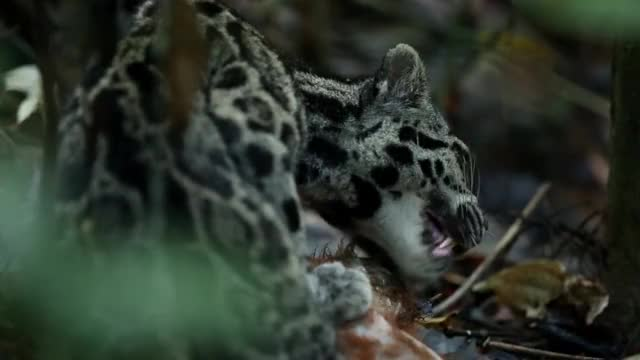 Watch and share Sunda Clouded Leopard Feeding On A Red Leaf Langur GIFs by Pardusco on Gfycat