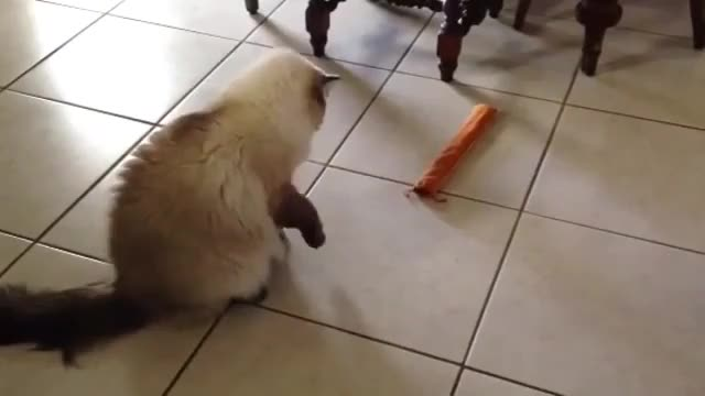 Watch and share /r/CatsBeingCats - From Robinsontheragdoll GIFs by cakejerry on Gfycat