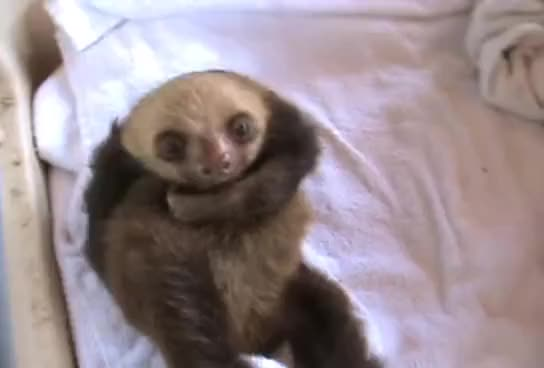 Watch this animal GIF on Gfycat. Discover more animal, animals, sloth GIFs on Gfycat