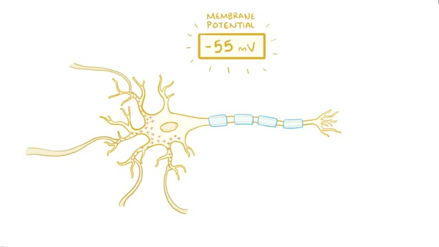 Watch and share Neuron Action Potential - Physiology GIFs on Gfycat