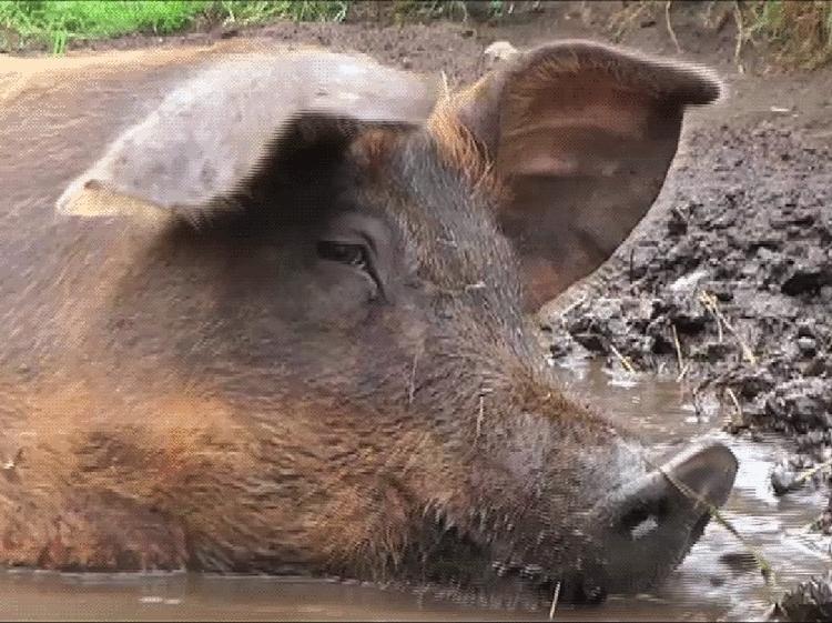En gris badar i lera