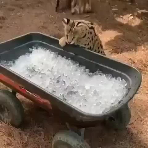 animal, animales#cute, animallovers#pets_of_instagram, animals, cat, cats#photooftheday, cute, dog, dogs, instagood, lion, love, nature, oceaan, pet, petouts, petsagram#lovely, petstagram, tiger, wild, Checking the temperature Credit @junglejane_ Via🦁 @naturehdi 🐯 GIFs