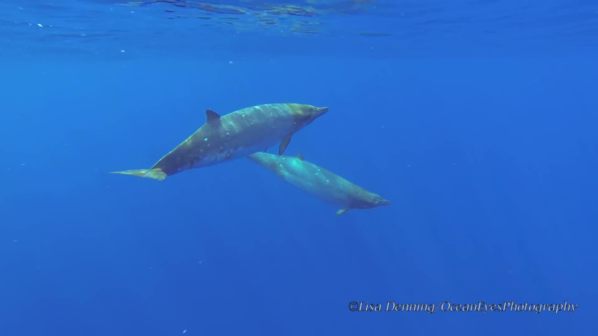 Beaked Whale Hawaii, Beaked Whales, Blainville's Beaked Whale, Free Whales, Freedive Whales, Hawaii Beaked Whales, Ocean Eyes Photography, Rare whales, Swim with Whales, Toothed whales, Underwater Beaked Whales, Underwater Footage Whales, Underwater film whales, Whales Underwater, blainvilles beaked whales GIFs