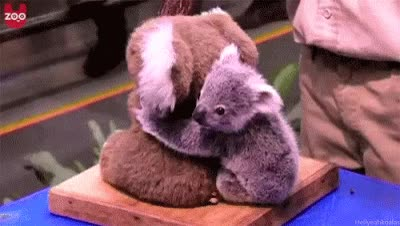Watch and share Baby Koala GIFs on Gfycat