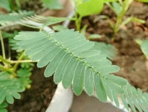 Watch and share 30pcs Sensitive Plant Perennial Herb Seeds Garden Mimosa Pudica Potted GIFs on Gfycat