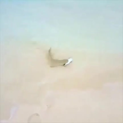 Watch and share Lemon Shark Gets A Fish Off The Beach GIFs on Gfycat