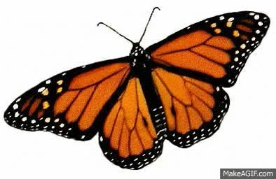 Watch and share Monarch Butterfly GIFs on Gfycat