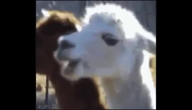 Watch and share Funny GIFs and Lama GIFs on Gfycat
