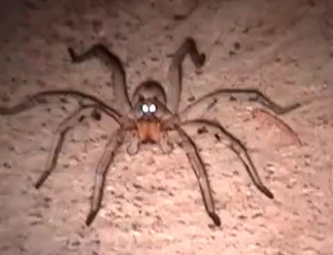 Watch this spider GIF on Gfycat. Discover more Spider, Wolf, arachnid, colorado, eyes, glowing, spider, wolf GIFs on Gfycat