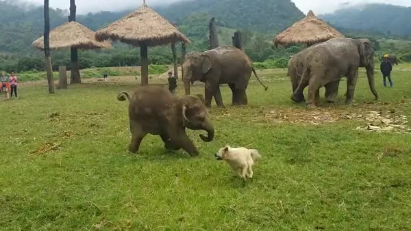 Watch trying to chase a dog (reddit) GIF on Gfycat. Discover more babyelephantgifs GIFs on Gfycat