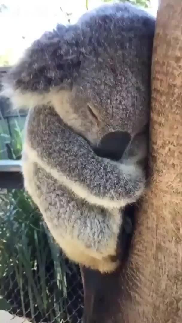 sleepy lil koala GIFs