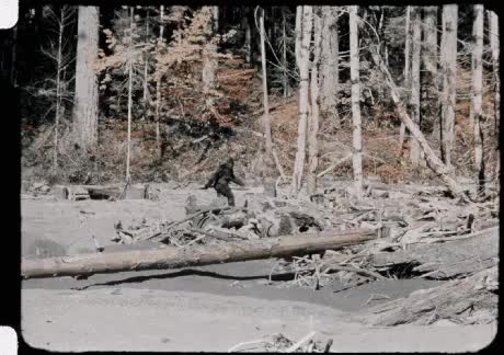 Watch The 1967 Bigfoot footage stabilized. GIF on Gfycat. Discover more OldSchoolCool, gifs, joerogan GIFs on Gfycat