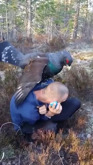 Watch and share This Huge Western Capercaillie GIFs by likkaon on Gfycat