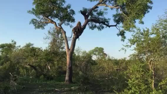 Watch and share Anderson Fall Out Tree GIFs by Londolozi Game Reserve on Gfycat