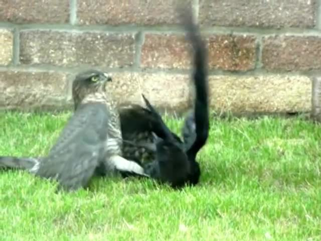 Birds, Brutal, Fight, Metal, Nature, Prey and PRedator, Sparrowhawk, crow, jackdaw, It's a bird eat bird world out there GIFs