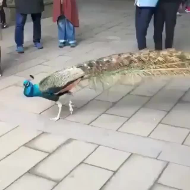 Watch and share Peacock GIFs by tothetenthpower on Gfycat