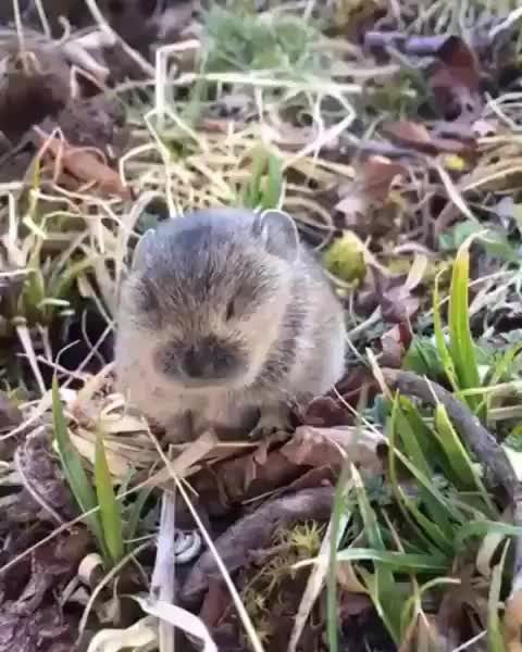 Watch and share Adorable Singing Vole GIFs by tothetenthpower on Gfycat