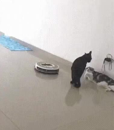 Watch and share Cats GIFs by drjsfro on Gfycat