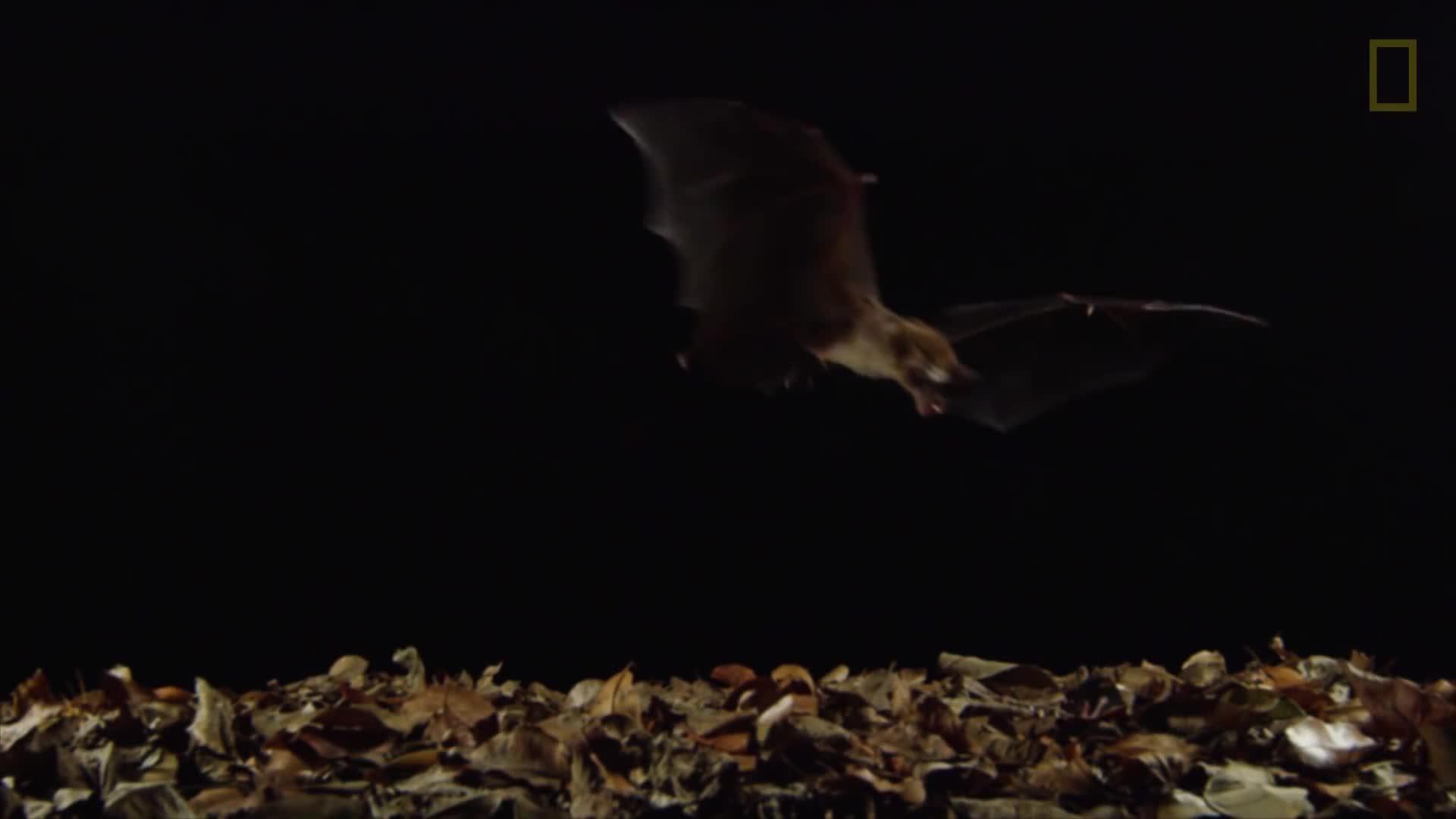 Capturing a Carnivorous Bat on Camera GIFs