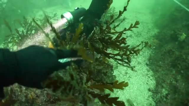 Watch this trending GIF on Gfycat. Discover more Harbor, SCIENCE, Sampling, Scuba, Stanford, UCSC, diving, funny, hopkins, meter, methods, monterey, narration, seal, tape GIFs on Gfycat