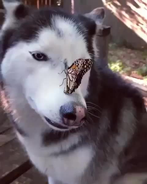 Husky and butterfly GIFs