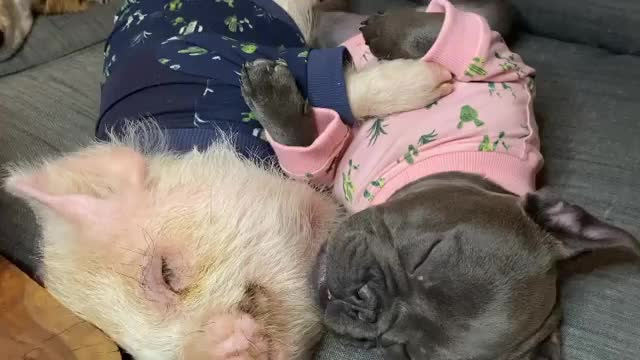 Watch and share Pickles The Pig GIFs and Weeklyfluff GIFs by lnfinity on Gfycat