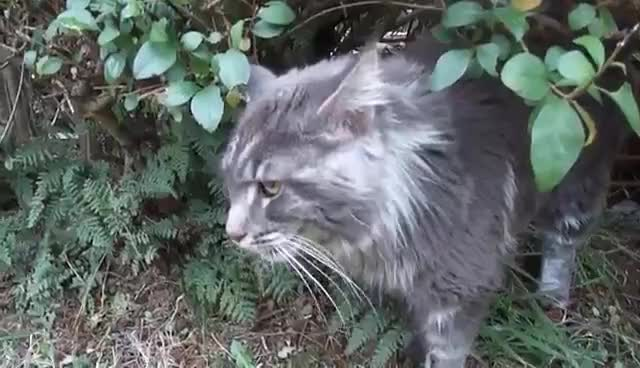 Titus the talking Maine coon cat and his favourite bush GIFs