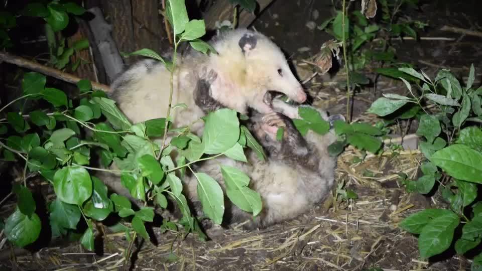 natureismetal, Opossums Fighting GIFs