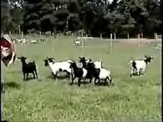 animals, funny, goats, lol, fainting goats GIFs