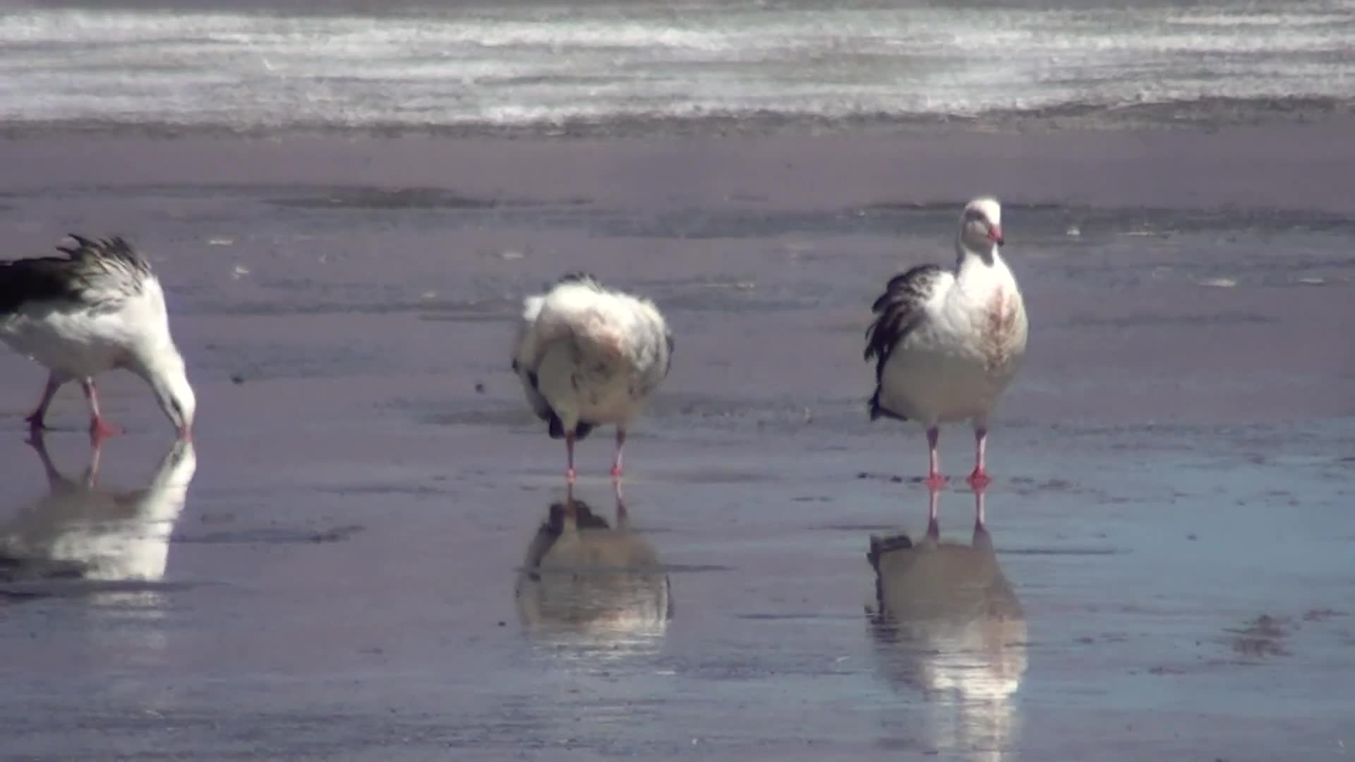 Andean, Goose, Pantanal BirdClub, Pets & Animals, Andean Goose (Chloephaga melanoptera) GIFs